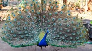 ~peacock shows her beauty...burung merak