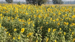 ~view of sunflower field, Lop Buri..