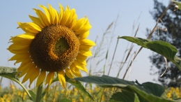 ~sunflower...