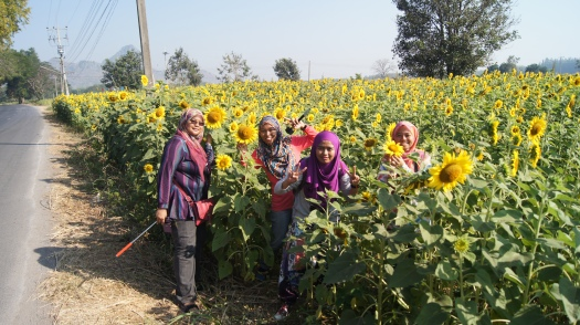 ~view of sunflower field, Lop Buri..